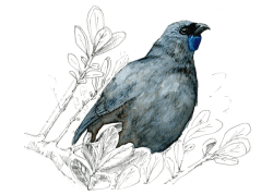 Kokako-ink-and-watercolor