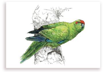 Kakariki – NZ Parakeet