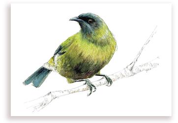 Korimako – Bellbird