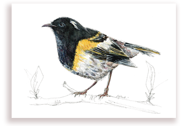 Hihi – Stitchbird
